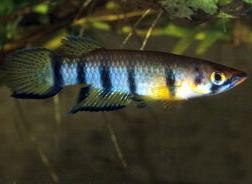 Гамбузиевые (Poeciliidae)