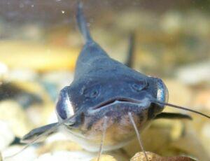 семейство пангасиевых сомов (Pangasiidae)