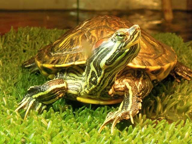 красноухая черепаха не ест:
