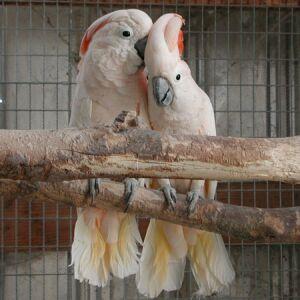 Особенности пород.  Покупка попугаев.  Выбор попугая.  КОНТАКТЫ.