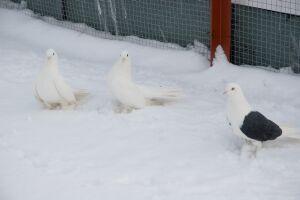 голуби на снегу