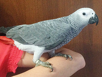 200 $ - отдам в хорошие руки молодого попугая - жако цвет серенкий
