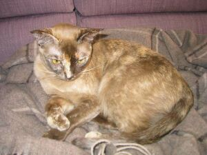 Окрасы бурманской кошки