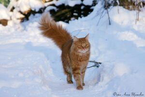 Коты смесь с енотом