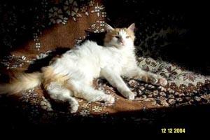 Турецкий ван, ванская кошка