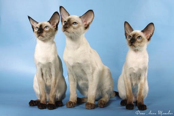 Сиамские коты википедия