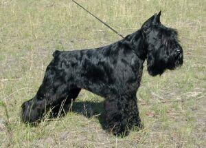 Цвергшнауцер чёрного окраса