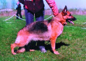 Региональная монопородная выставка немецких овчарок