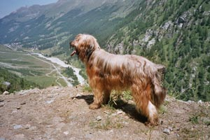 Бриар - французская овчарка из Бри