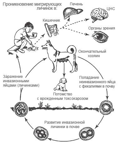 паразит у собаки токсокароз