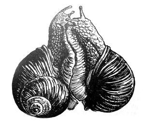 Helix pomatia Linnaeus