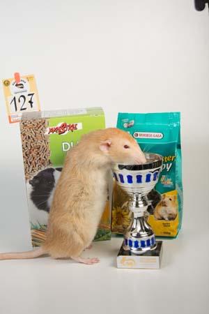 Декоративная крыса Элвис – лучшая крыса дамбо в классе чемпионов