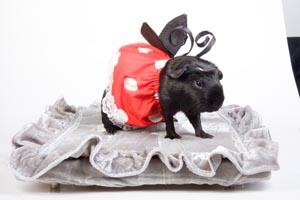 Морская свинка в костюме божьей коровки (конкурс костюмов)