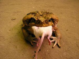 Жаба ага, водонос, рогатка-альбинос - основы содержания в неволе