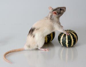 пыльная мышь