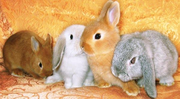 Декоративные кролики из хозяйства ПитерКрол