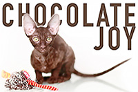 корниш рексы из питомника Chocolate Joy
