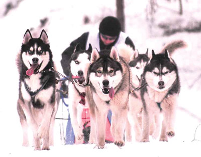 Чемпионат СПб по зимним дисциплинам ездового спорта