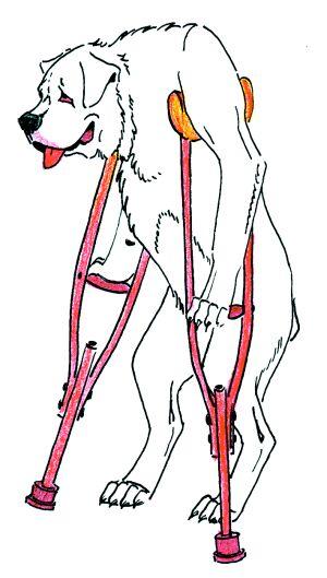 как вправить собаке вывихнутый сустав