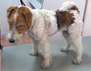 Адреналэктомия собаки